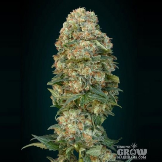 Advanced – Auto Afghan Skunk Autoflowering Feminized Seeds