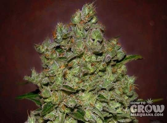 Advanced – Biodiesel Mass Autoflowering Feminized Seeds