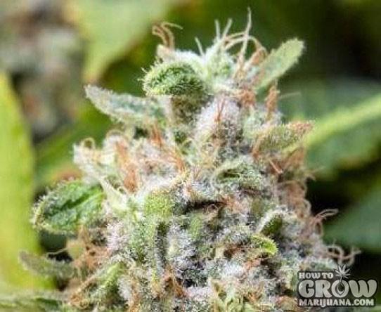 Advanced – Critical Feminized Marijuana Seeds