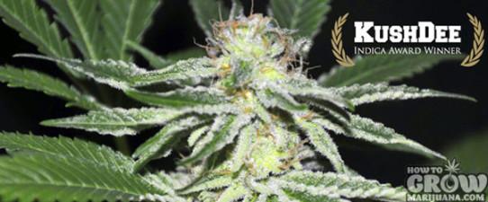 AllStar Genetics – Kushdee Feminised Marijuana Seeds