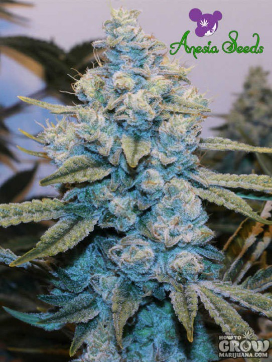 Anesia – Gorilla Glue #4 Feminized Seeds