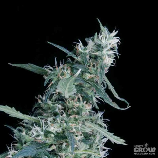 Greenhouse – Arjan's Ultra Haze Feminized Seeds