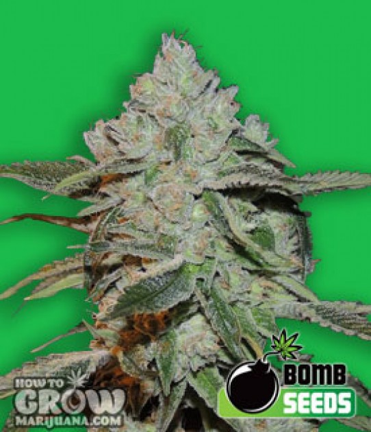Bomb – Atomic Feminized Seeds