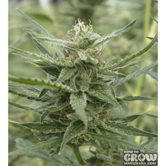 710 Genetics – Auto AK-107 Autoflowering Feminized Seeds