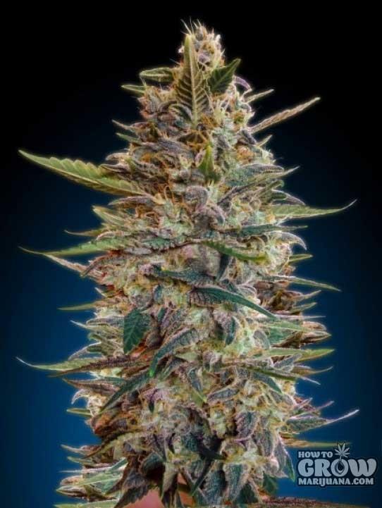 Advanced – Auto Blue Diesel Feminized Seeds