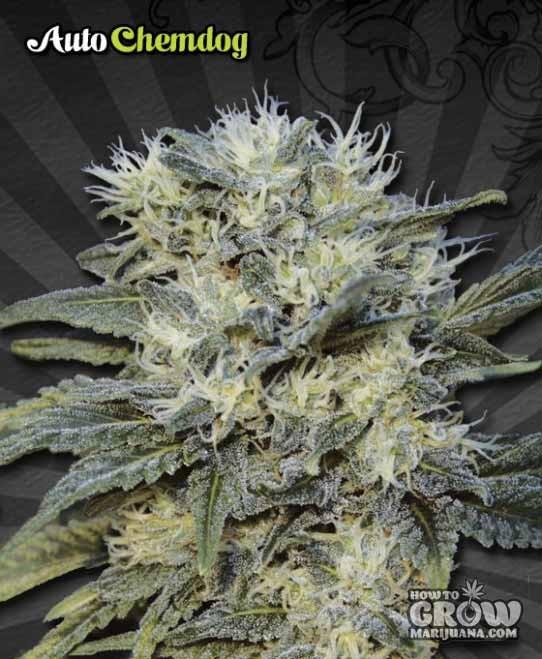 Auto Seeds – Auto Chemdog Feminized