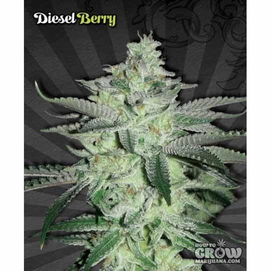 Auto Seeds – Auto Diesel Berry