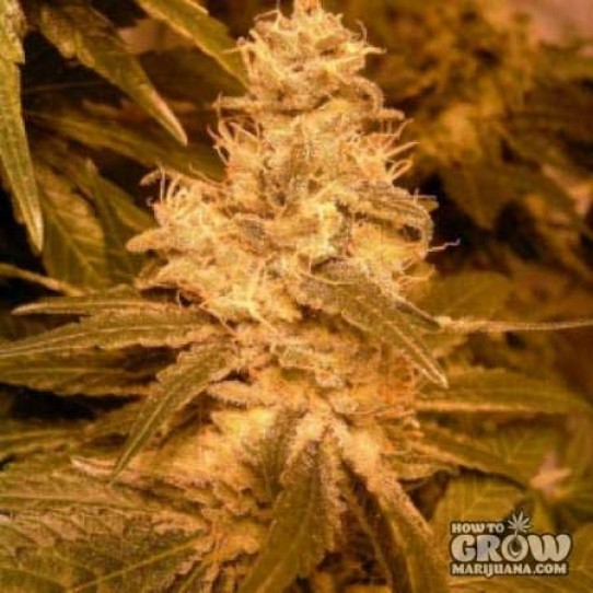 Lowlife – Automatic Hindu Kush Seeds