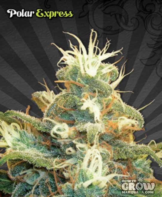Auto Seeds – Auto Polar Express
