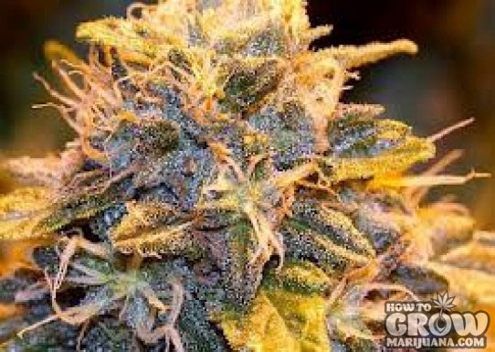 Auto Seeds – Auto Purple Cheese