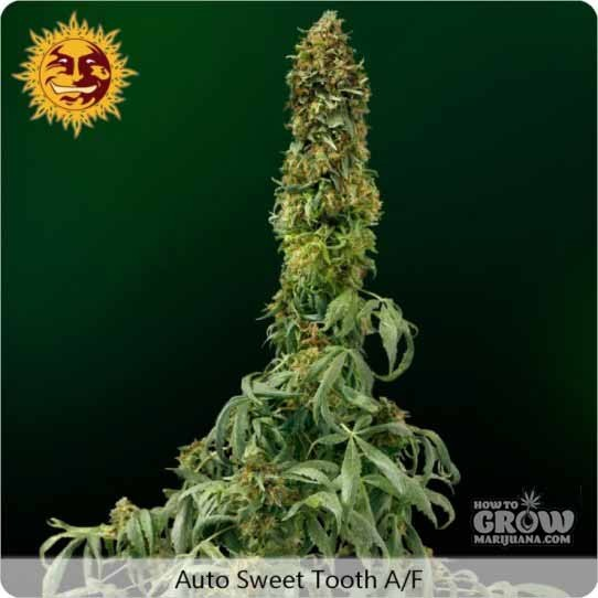 Barneys Farm – Auto Sweet Tooth Autoflowering Feminized Seeds