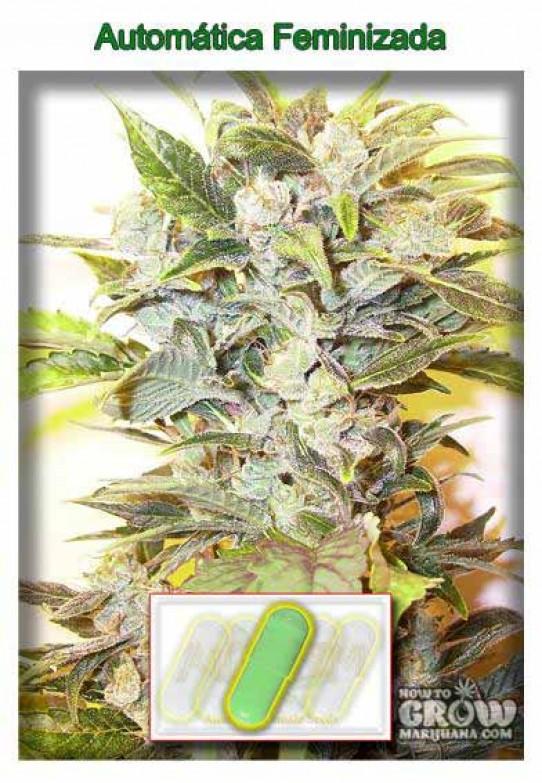 AutoFem – Auto Oil Feminized Seeds