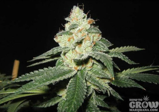 Lowlife Automatic Great White Shark Feminized Seeds