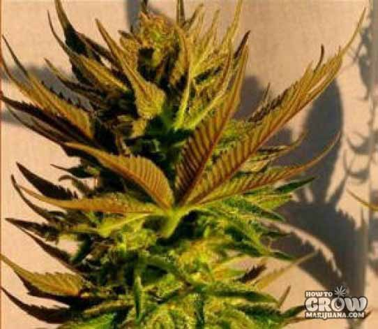 Kannabia – B. Lee Automatic Feminized Seeds