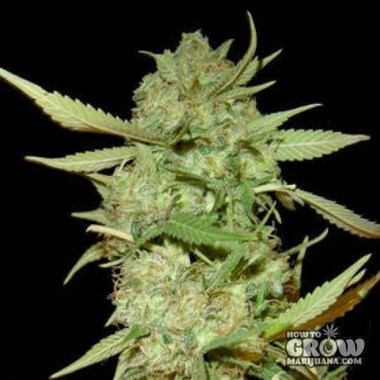 Seedism – BLZ Bud Feminized Seeds