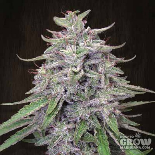 Ace – Bangi Haze Feminized Seeds