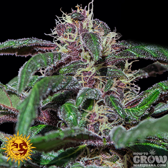 Barney's – Ayahuasca Purple Feminized Seeds