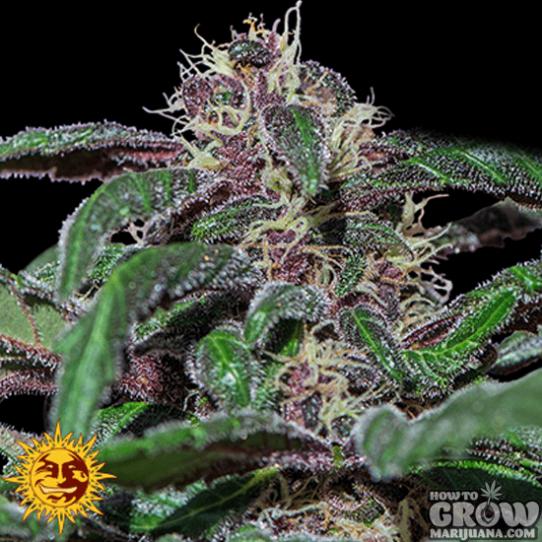 Barney's – Ayahuasca Purple Feminized Seeds