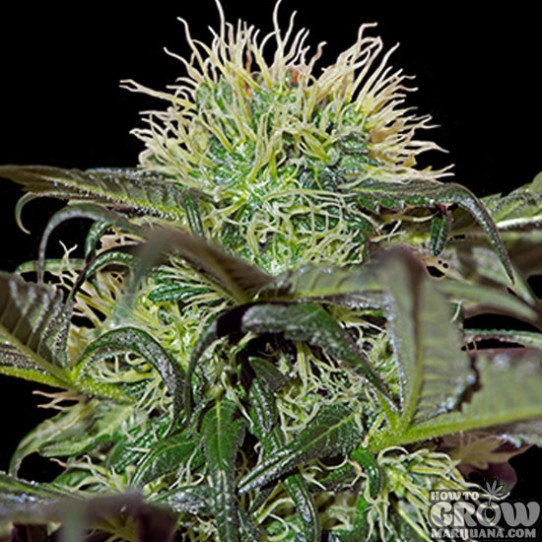 Barney's - Bad Azz Kush Feminized Seeds