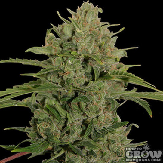 Barney's – Triple Cheese Feminized Seeds