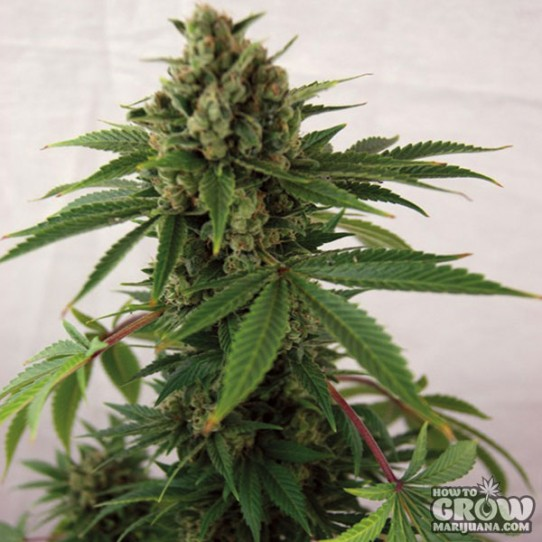 Barney's – Auto Blue Cheese Autoflowering Feminized Seeds