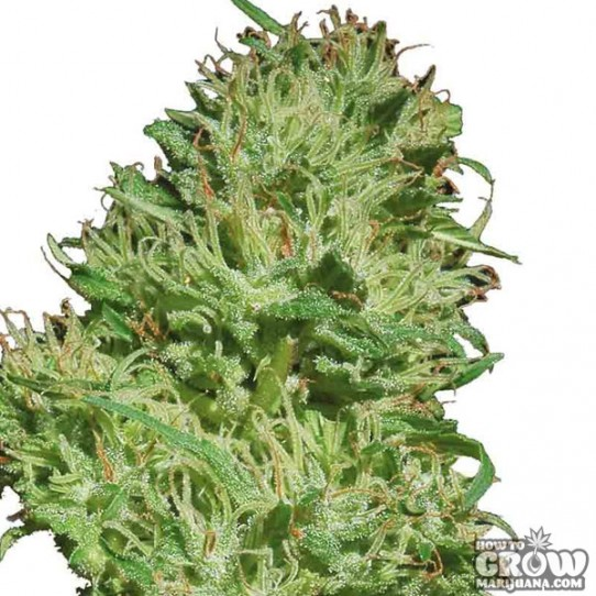 Barney's Farm – Utopia Haze Cannabis Seeds