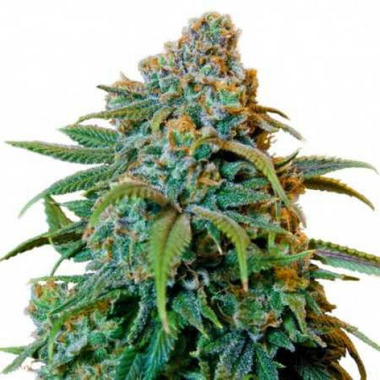 Barneys Liberty Haze Feminized Seeds