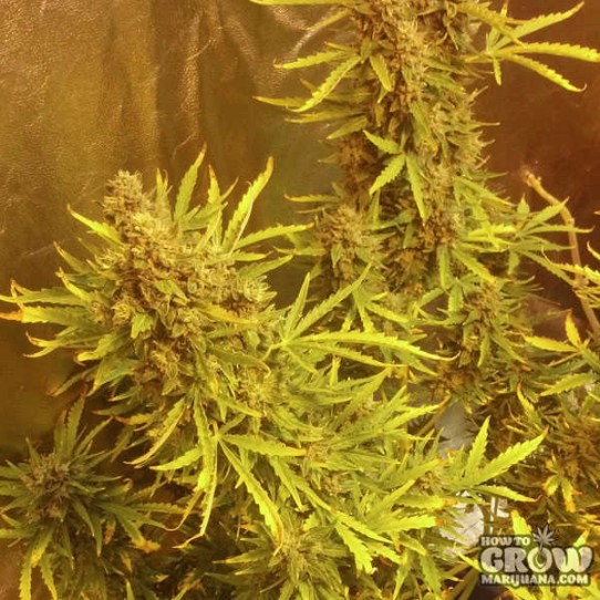 Barneys Pineapple Express Autoflowering Feminized Seeds