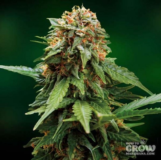 Barney's – Tangerine Dream Feminised Seeds