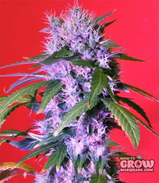 Bomb – Berry Bomb Auto Seeds