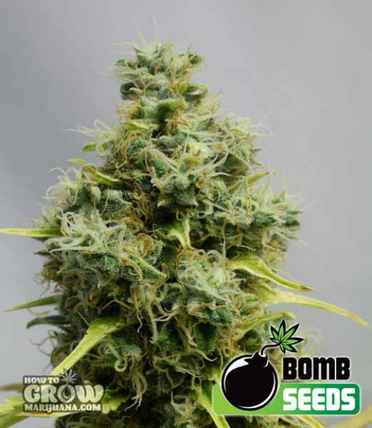 Bomb Big Bomb Feminized Seeds