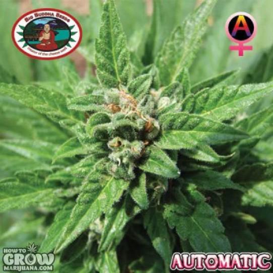 Big Buddha – Automatic Feminized Seeds