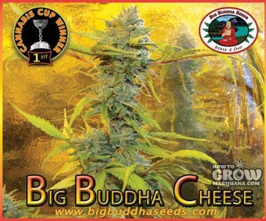 Big Buddha – Cheese X Cheese Reversed Feminized Seeds