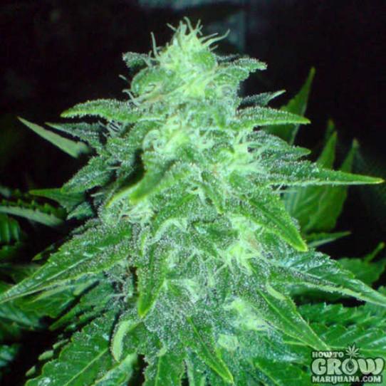 Big Buddha – Cheesy Dick Feminised Seeds