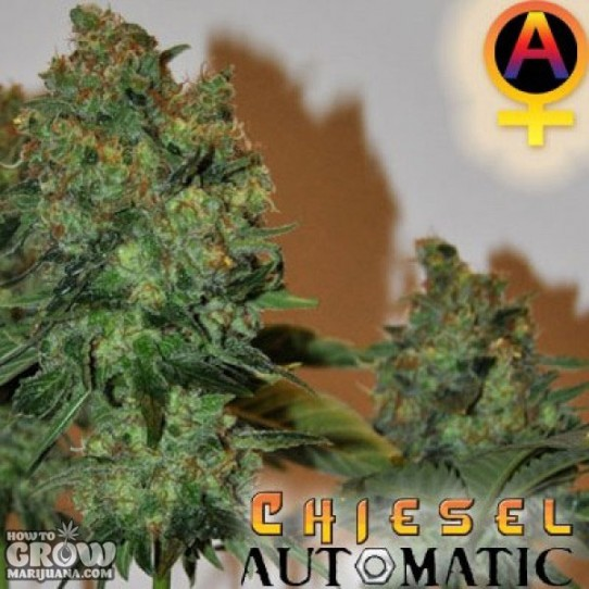 Big Buddha – Chiesel Automatic Feminized Seeds