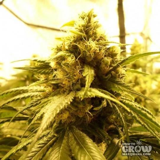 Big Buddha – Chiesel Feminized Seeds