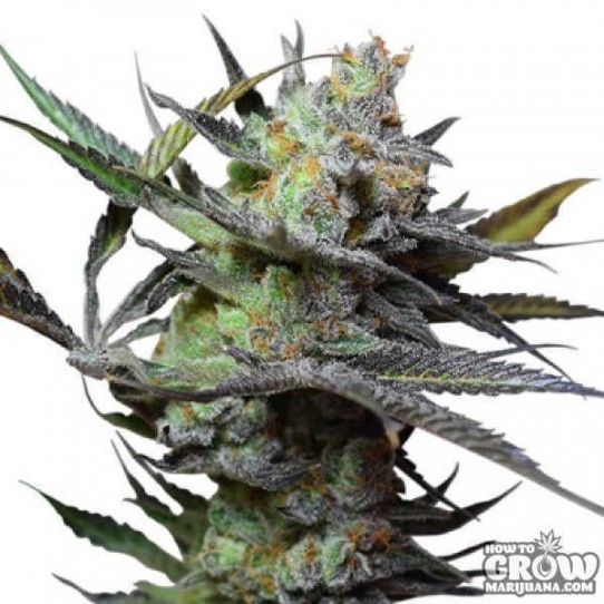 Big Buddha – King Kong Feminised Seeds