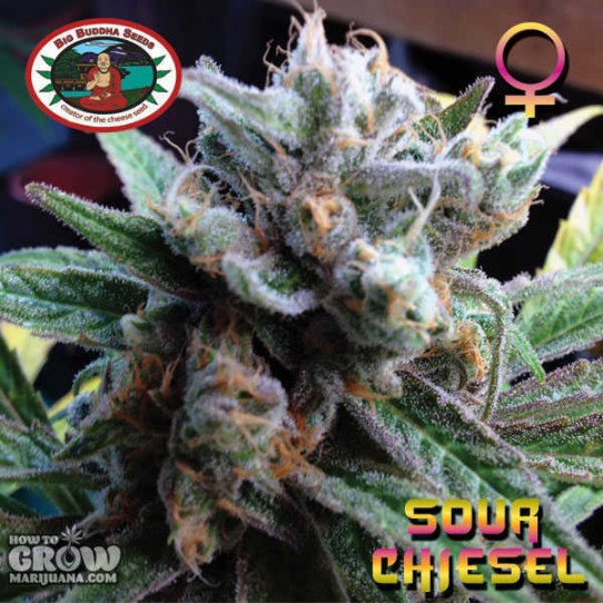 Big Buddha – Sour Chiesel Feminised Seeds