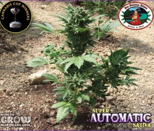 Big Buddha – Super Automatic Sativa S.A.S. Feminized Seeds