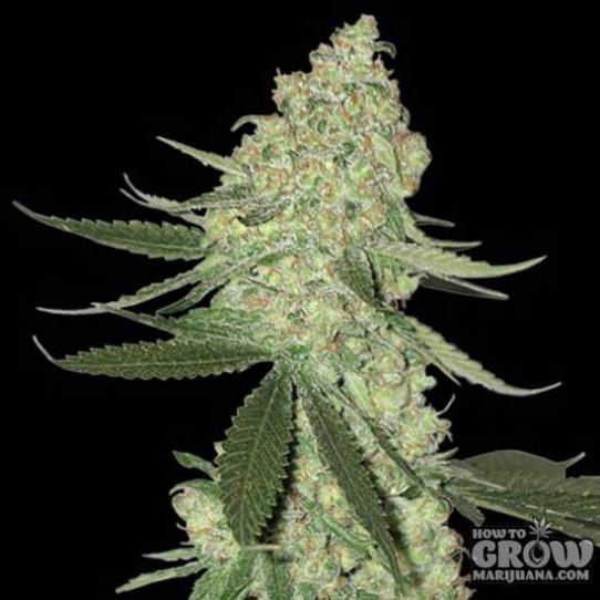 Big Head – Chuckleberry Cheese Auto Seeds