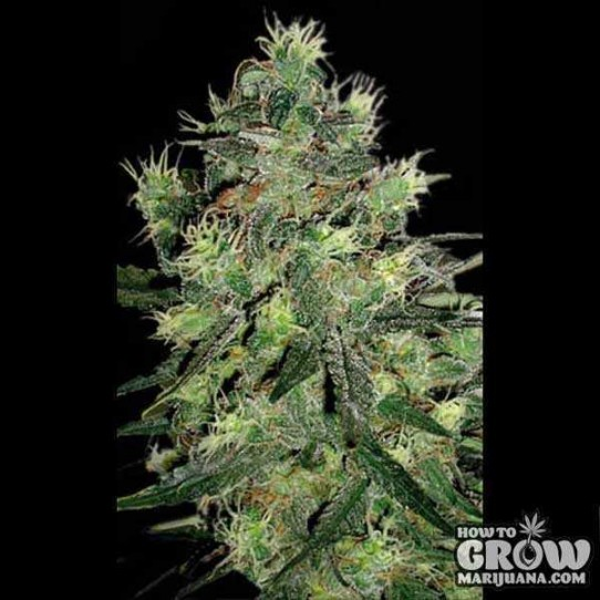 Blimburn – Sweet Automatic Seeds