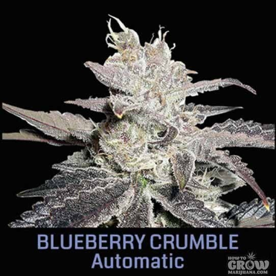 Big Head Blueberry Crumble Automatic Feminized Seeds