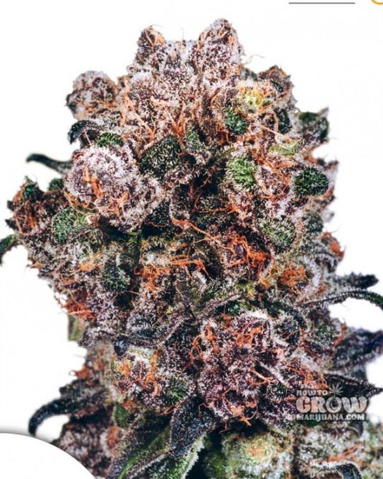 Dutch Passion – Blueberry® Feminized Seeds
