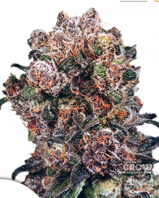 Dutch Passion – Blueberry® Feminized Seeds