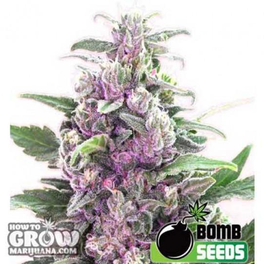Bomb Seeds – THC Bomb Autoflowering Feminised