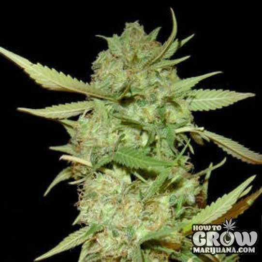Sweet Botafumeiros Feminised Seeds
