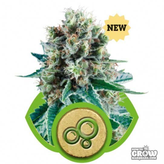 Royal Queen – Bubble Kush Automatic Seeds