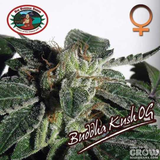 Big Buddha – Buddha Kush OG Feminized Seeds