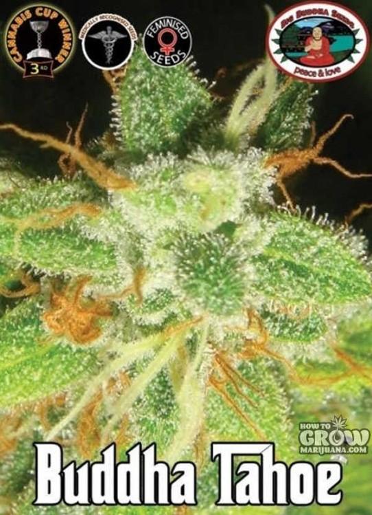 Buddha Tahoe Feminized Seeds