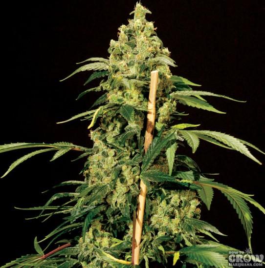 Bulldog – Jack Herer Feminized Seeds